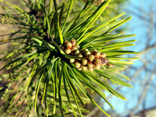 Male Jack pine cones